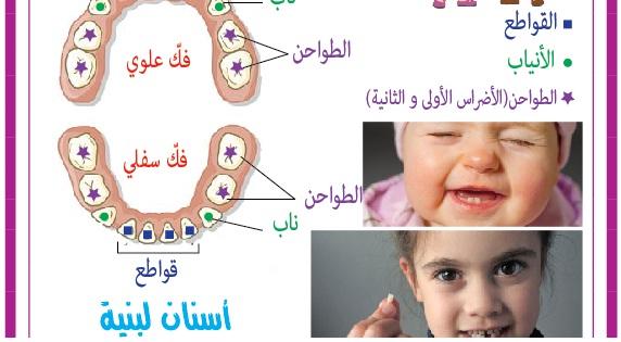 أنواع الأسنان ووظائفها ـ إعداد الأستاذة سامية